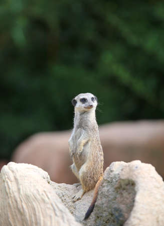 little meerkat standing in the stone and controls its territory in search of prey Stock Photo