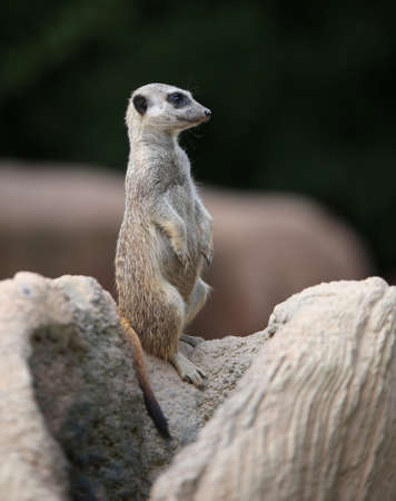 meerkat standing on the rock of the desert and controls its territory in search of prey Stock Photo