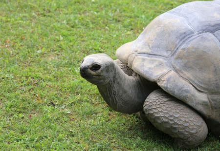 animals amphibious: very big and old turtle with robust shell while walking on grass Stock Photo