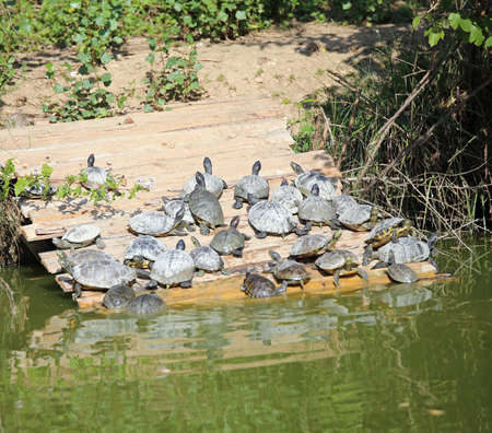 sunning: turtles sunning themselves on the banks of the pond Stock Photo