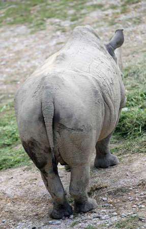 grosse fesse: queue et l'énorme retour du rhinocéros majestueux vu de derrière Banque d'images