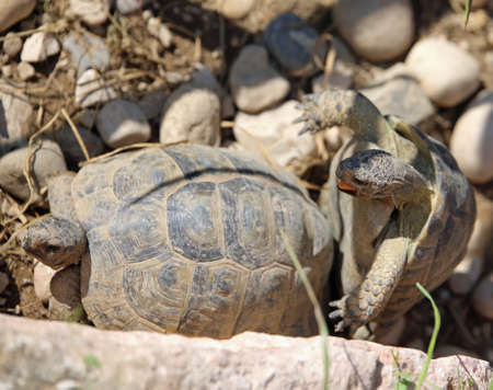 copulate: phase coupling of two large turtles during the mating season