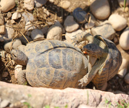 copulate: two large turtles while they mate during the mating season