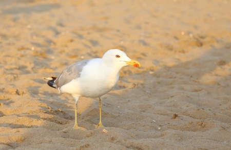 shorelines: white seagull at the beach shoreline in summer 2