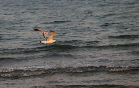 mare agitato: single seagull flying over the rough sea at duskr