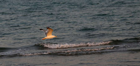 rough sea: seagull flying over the rough sea at duskr
