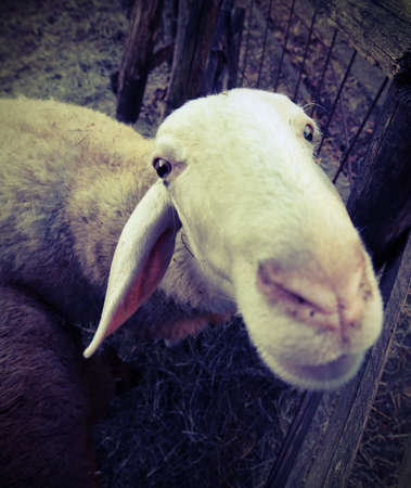 curiousness: close muzzle of a sheep photographed with fisheye lens
