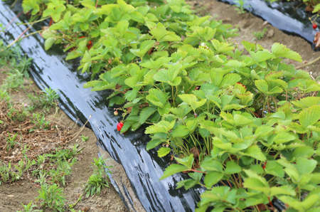 sheeting: seedlings growing strawberries with protective sheeting in an agricultural field Stock Photo