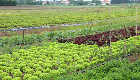 lactuca: fields on farmland with green lettuce and red radicchio Stock Photo