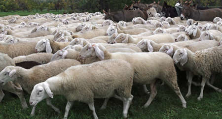domestication: many white sheep in the flock in winter grazing on the lawn
