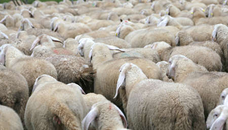many sheep with long fur coat in the flock on the way