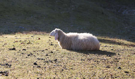 meadowland: isolated sheep lying on the grass in winter