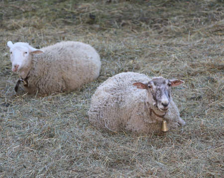 meadowland: two sheep lying on the lawn with a bell around his neck