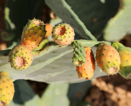 plant with ripe prickly ready for harvest Stock Photo