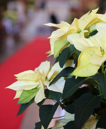 religious event: Christmas star called poinsettia with white leaves into the church and the red carpet during the religious event
