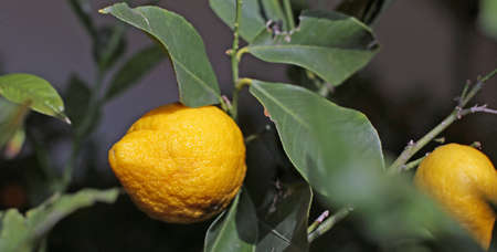 big yellow Mediterranean lemon with very thick and wrinkled skin Stock Photo