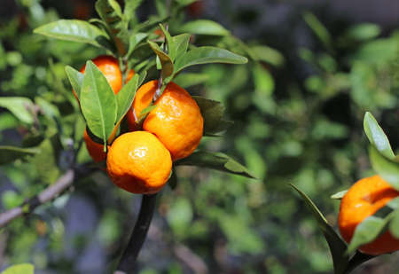 clementines: ripe orange clementines in a lush orchard of orangery