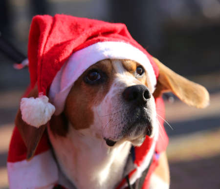 basset: muzzle of a dog with Red Hat of Santa Claus at Christmas