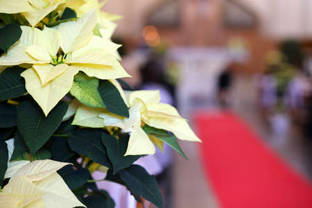 religious event: Poinsettia with white leaves into the church and the red carpet during the religious event