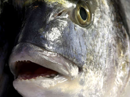 gilt head: detail of Gilt-head bream fish with wide mouth open and the eye Stock Photo