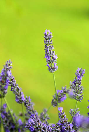 camargue: fragrant blossomed flower of lavender in the field in spring