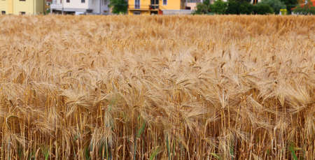 coeliac: wheat field with ripe ears in summer near the city Stock Photo