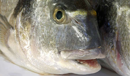 gilt head: a big bream with his mouth open just caught by the fisherman in the sea