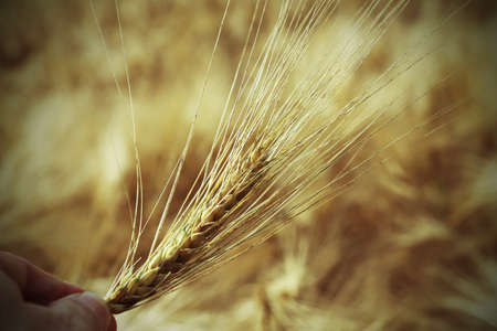 coeliac: hand of farmer holding the yellow ear of wheat in the middle of the wheat field in summer