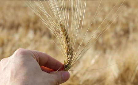 coeliac: hand of farmer holding the yellow ripe ear of wheat in the middle of the field