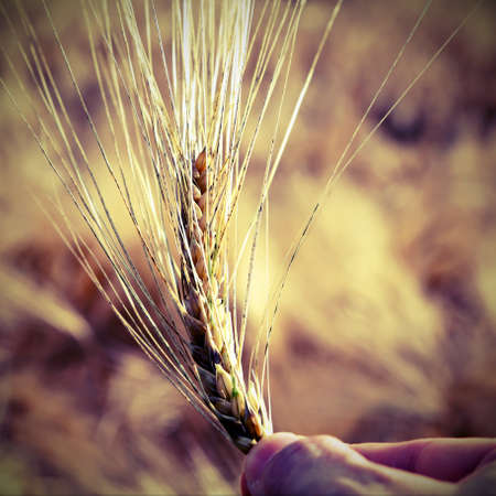 coeliac: hand of farmer holding the yellow ripe ear of wheat in the middle of the wheat field Stock Photo