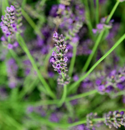 camargue: blossomed flower of lavender in the green background Stock Photo