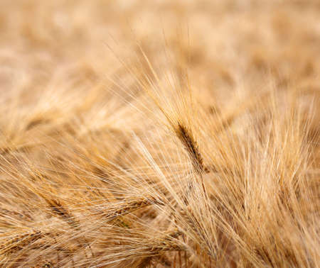 coeliac: backdrop of ripe ears of wheat during ripening in the wheat field in June