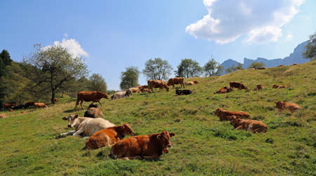 meadowland: cows grazing on the plateau near the Italian Alps in summer Stock Photo