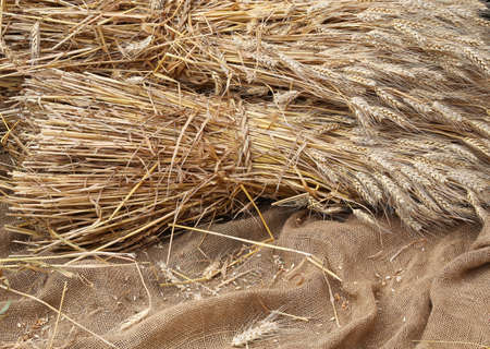coeliac: Ripe yellow wheat ears on burlap sack