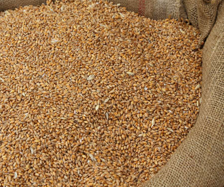 coeliac: big bag of ripe wheat seeds for sale to the cereals market