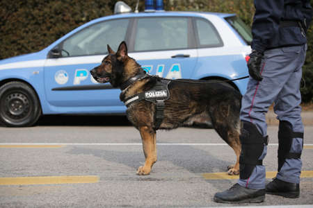 Vicenza, VI, Italy - January 28, 2017: German Shepherd police dog with policeman while patrolling the city in search of explosive devices and drugs before football sports event Editorial
