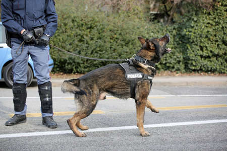 sniffer: Vicenza, VI, Italy - January 28, 2017: German Shepherd police dog with policeman while patrolling the city in search of explosive devices and drugs before football sports event Editorial