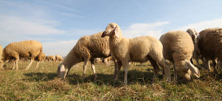 domestication: many sheep that graze on the lawn and the large flock of sheep grazing