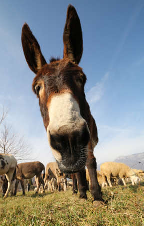 big ass: funny cute donkey with long ears and graze along with other animals Stock Photo
