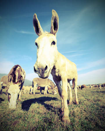 cute donkey with long ears watching on the camera lens