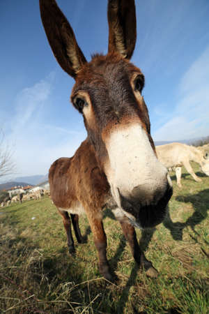 muzzle of donkey with long ears while grazing with sheep from bottom view photographed with a fisheye lens Stock Photo