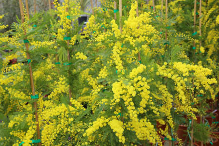 mujer: beautiful yellow mimosa flowers for International Womens Day