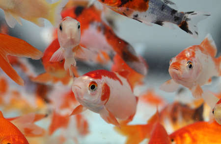 shop for animals: many goldfish in the aquarium of pet shop for sale