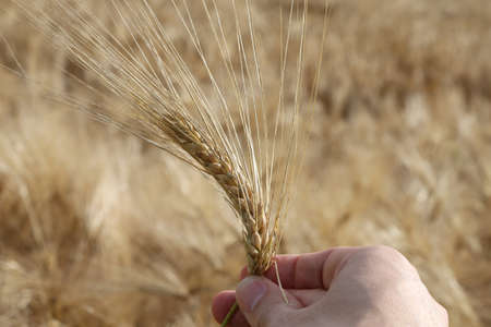 coeliac: Farmers hand that controls the ear of wheat to ensure it is ripe in summer Stock Photo