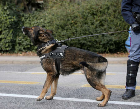 German shepherd police dog while patrolling the city streets to prevent terrorist attacks Stock Photo