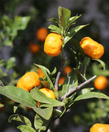 ripe orange mandarins on the tree with many green leaves in the Mediterranean country Stock Photo
