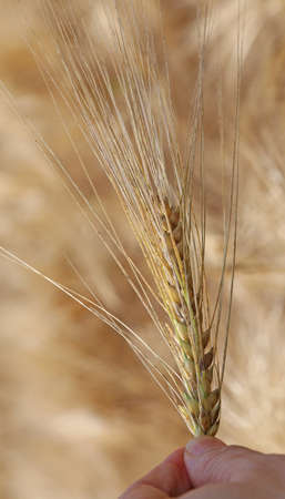Farmers hand that controls the ear of wheat to ensure it is ripe in summer Stock Photo