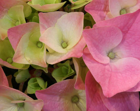 large hydrangea flowers photographed with a macro lens