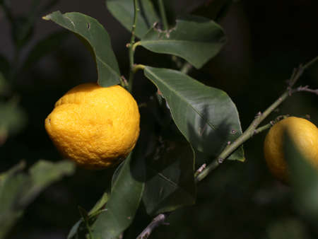 lemon on the tree with green leaves in the Mediterranean country