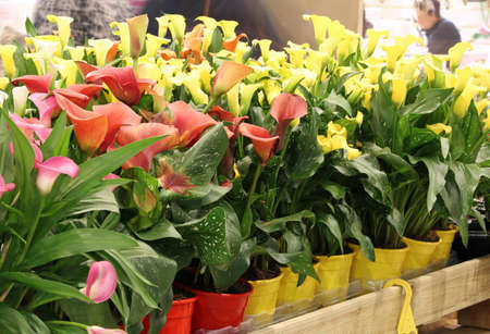 blossomed in spring calla flowers for sale in florist shop